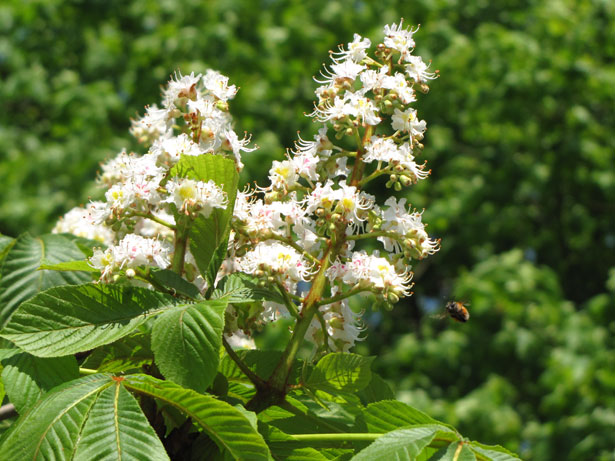 White chestnut white chestnut mightylinksfo